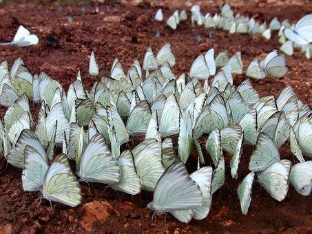 Belyanko, Butterfly Belyanko, Lepidoptera, Insects