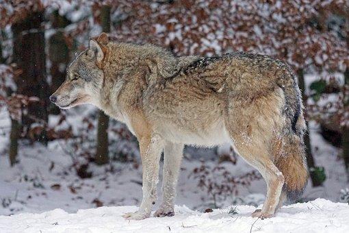 Wolf, Predator, Carnivores, Canis Lupus, Pack Animal