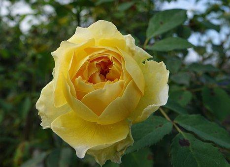 Rosa Multiflora, Rose, Yellow