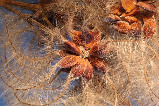 Clematis Vitalba, Clematis, Seeds Was