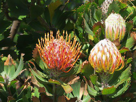 Protea, Flower, South Africa, Cape Town