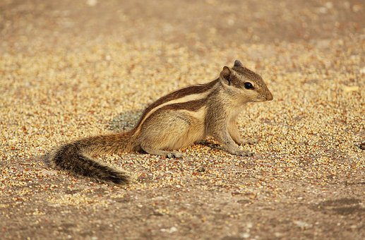 Squirrel, Animals, Wildlife, Rodent, Small, Striped