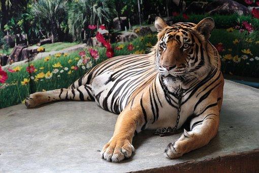 Tiger Luang, Tiger, Zoo, Animals