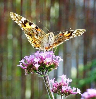 Verbena, Flower, Butterfly, Argentine Vervain