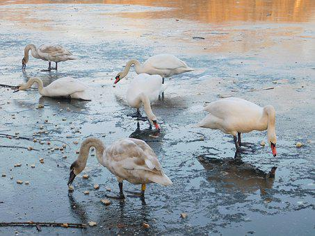 Swans, White Swans, Water Bird, Lake, Frozen Lake