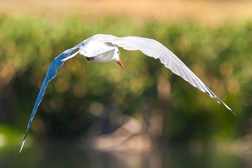 Hartlaub's Gull In Flight, Fly, Flying, Wings, Wingspan