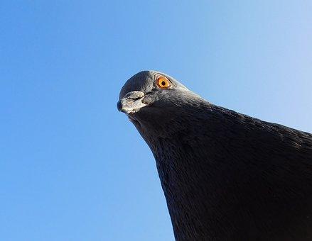 Dove, Bird Head, Bird, Animal, Creature, Eye, Bill