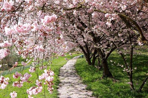 Cherry, Blossom, Bloom, Macro, Cherry Blossom