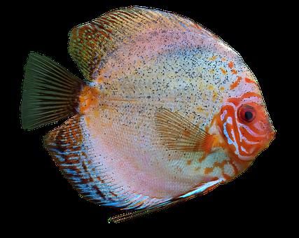 Discus Fish, Cichlid, Aquarium, Isolated