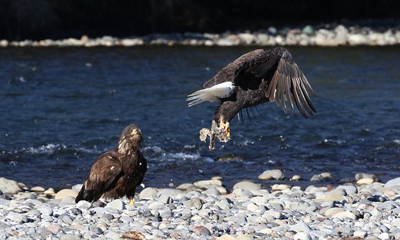 Eagle, Bald, American, Fishing, Adult, Eating, Flying