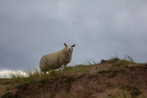 Sheep, Scotland, Grass, Scottisch