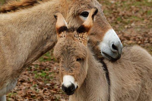 Mediterranean Donkey, Cute, Animal, Domestic, Farm