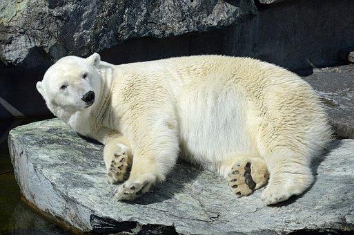 Polar Bear, Zoo, White Bear, Animal, Stuttgart