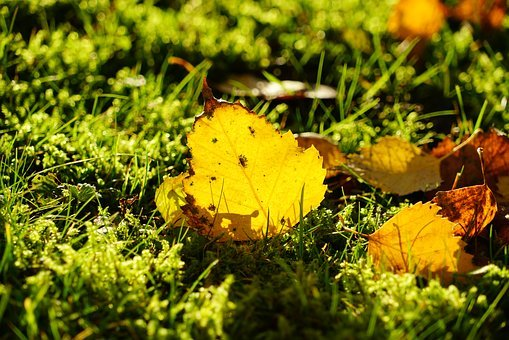 Birch Leaf, Autumn, Fall Foliage, Leaf, Yellow, Golden