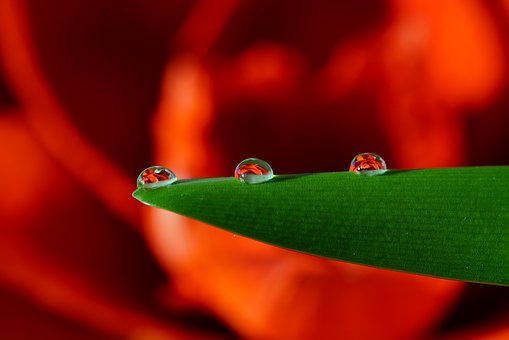 Drop Of Water, Amarillis, Flower, Drip, Mirroring