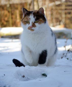 Cat, Snow, Winter, Frozen, Outdoors, Hairy, Colors