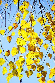 Hang-birch, Birch, Autumn, Leaves, Fall Foliage, Gold