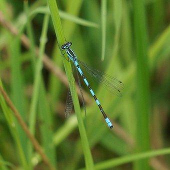 Keihästytönkorento, Coenagrion Hastulatum, Dragonfly