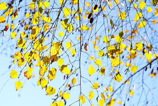 Birch, Fall Leaves, Autumn, Aesthetic, Branches, Leaves