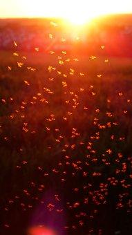 Mosquito Swarm, Swarm, Mosquitoes, Fliegenschwarm