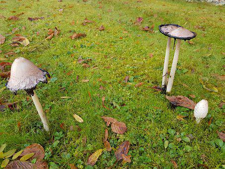 Mushrooms, Schopf Comatus, Ink, Mushroom, Comatus