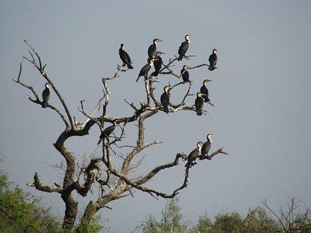 Bird, Africa, Nature, Animals, Great Cormorant, Senegal