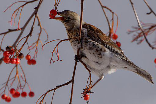 Fieldfare, Bird, Municipal, Nature, Park, Square