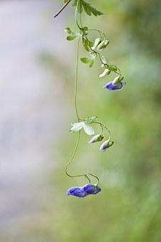 Notjeotgarak Herbs, Pyeongchang, Wildflower
