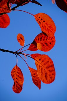 Wig Brush, Leaves, Fall Foliage, Red, Pattern, Cotinus