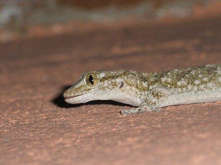 Reptile, Santarrostro, Nature, Lizards