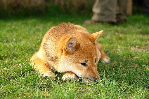 Shiba Inu, Inu, Dog Close-up, Nature, Puppy, Lying