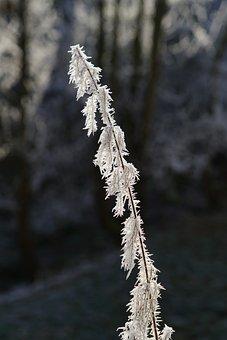 Stinging Nettle, Hoarfrost, Ripe, Nature, Winter, Frost