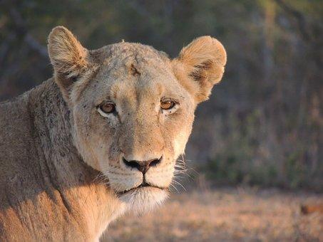 Lioness, Safari, Animal World, Africa, Savannah