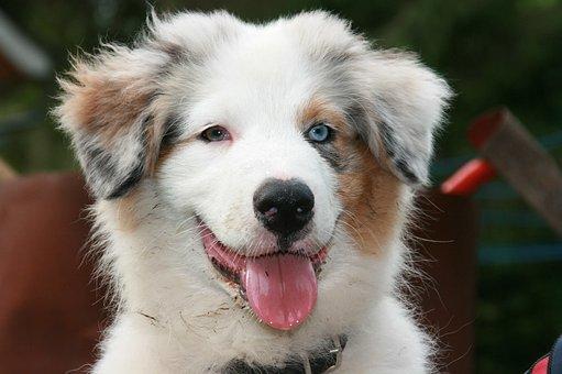 Australia Shepherd, Puppy, Portrait, Dog