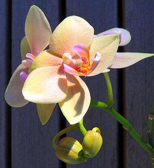 Plant, Orchid, Phalaenopsis, Butterfly Orchid
