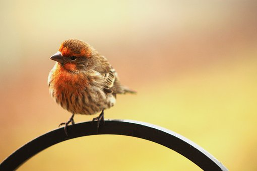 House Finch, Early Bird, Perched, Tilted, Curious