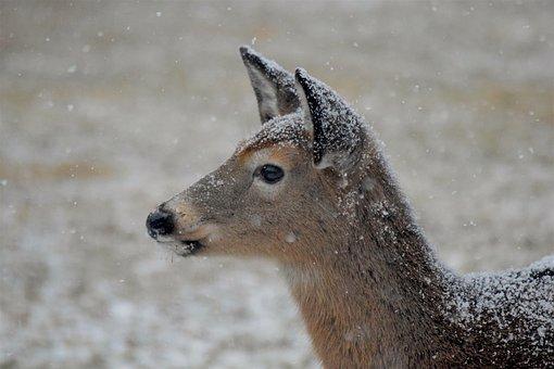 Deer, Snow, Winter, Wildlife, Eating, Natural, Face