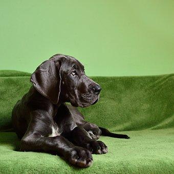 Dog, Dog Breed, Large, Puppy, Giant Size
