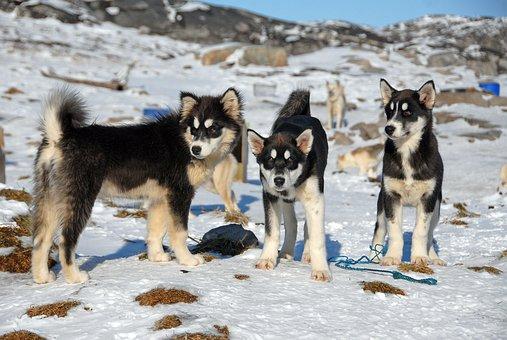 Greenland, Greenland Dog, Dogs
