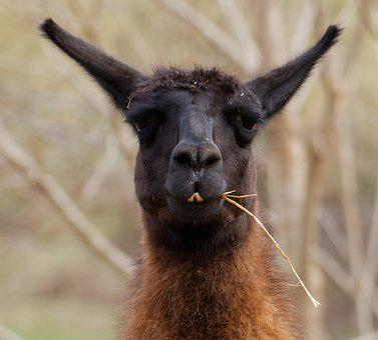 Llama, Animal, Farm, Funny, Head, Face, Mammal
