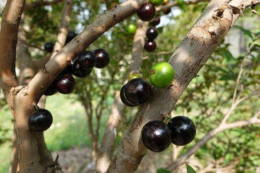 Garbo Greta Fruit, Tree Grape, Fruit, Purple