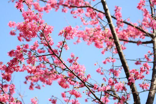 Cherry Blossoms, Flower, Plant, Spring, Pink, Hua Xie