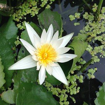Lotus, White, Bua Ban, Nature, Water Plants, Fresh