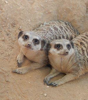 Meerkat, Two Meerkats, Mammal, Wild, Nature, Wildlife