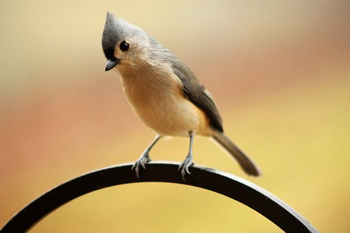 Tufted Titmouse, Bird, Early Bird, Perched, Titmouse