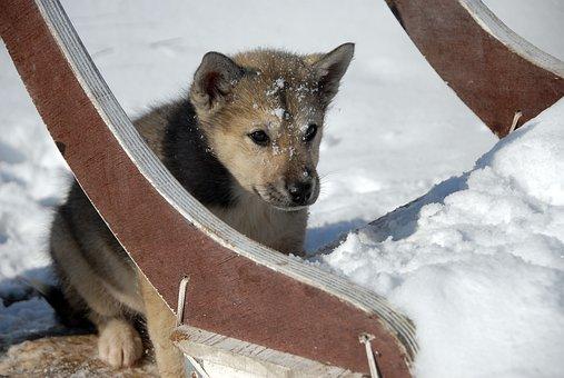 Greenland Dog, Dog, Greenland, Puppy