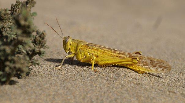 Sand, Beach, Grasshopper, Yellow, Insect, Desert Locust