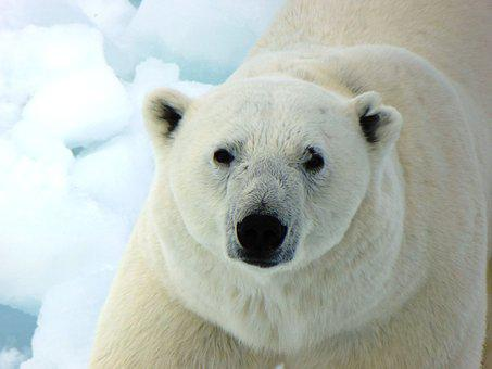 Polar Bear, Arctic, Nature, Snow, Wild, Winter, Mammal