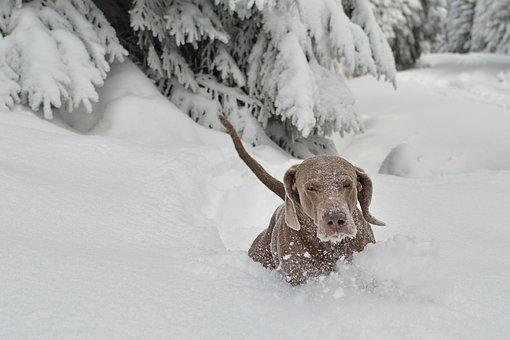Winter, Dog, Snow, Dog Breed, Large, Puppy, Giant Size