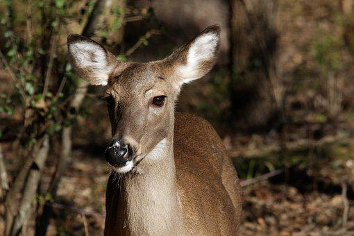 Whitetail Doe, Deer, Doe, Wildlife, Animal, Woods, Game